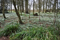 Snowdrops at Burton Agnes